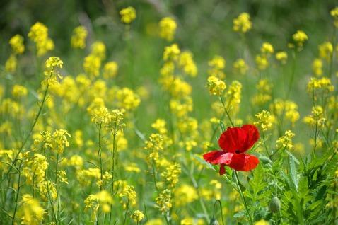 poppy-1819645_1280[1].jpg